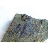 Lichenoides priscus