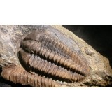 Trilobiti
